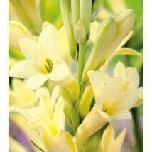 Tubarózsa 'Golden Harvest' (1 db)