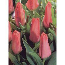 Fosteriana hibrid tulipán - Pink Emperor
