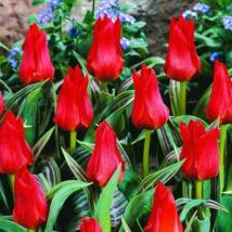 Greigii hibrid tulipán - Cervena Karkulka