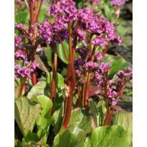 Bőrlevél - Bergenia purpurascens virágmag
