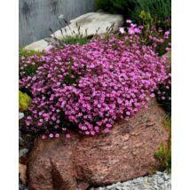 Fátyolvirág (Gypsophila repens) var. rosea virágmag