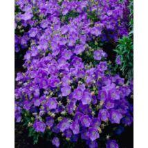 Harangvirág, kárpáti - Campanula carpatica virágmag