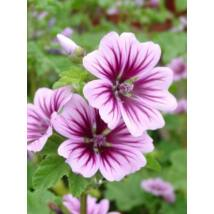 Erdei mályva (Malva sylvestris), 'Zebrina' virágmag
