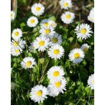 Százszorszép - Bellis perennis virágmag