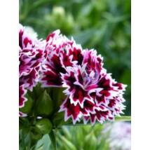 Szegfű - Dianthus barbatus x chinensis, 'Kensington Mix'