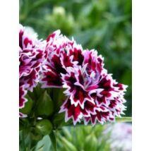 Szegfű - Dianthus barbatus x chinensis, 'Kensington Mix' virágmag