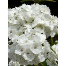 Szegfű - Dianthus barbatus, 'Albus'