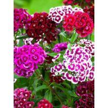 Szegfű - Dianthus barbatus, 'Auricula Eyed Mixed' virágmag