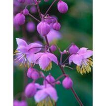 Szárnyastermésű borkóró (Thalictrum delavayi) virágmag