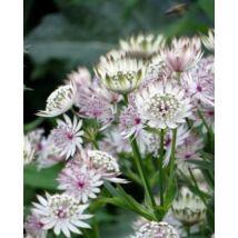 Völgycsillag - Astrantia major virágmag