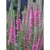 Veronica longifolia, 'Pink Shades'