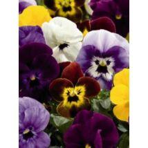 Viola cornuta, 'Aero Mix', F1 Hybrid