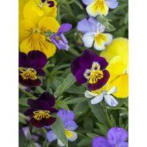 Viola cornuta, 'Four Seasons Formula Mixed', F1 Hybrid