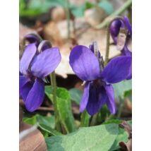 Viola odorata, True Wild Form
