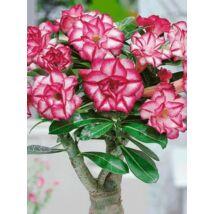Sivatagi rózsa (Adenium obesum) virágmag (színkeverék)