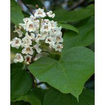 Szívlevelű szivarfa (Catalpa bignonioides) mag