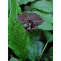 Denevér virág (Tacca chantrieri) mag