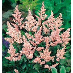 Astilbe (Kerti tollbuga, Csótárvirág) - Peach Blossom
