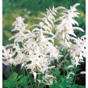 Astilbe (Kerti tollbuga, Csótárvirág) - White