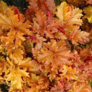 Tűzgyöngyvirág (Heuchera) - Amber Waves