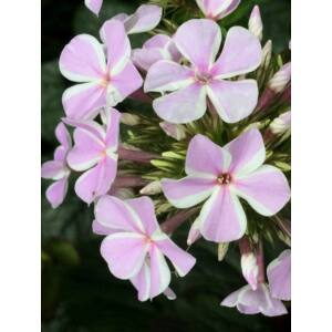 Lángvirág (Phlox paniculata) 'All in one'