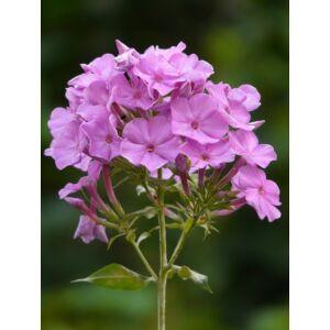 Lángvirág (Phlox paniculata) 'Pink'