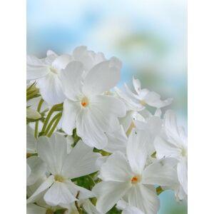 Lángvirág (Phlox paniculata) 'White'