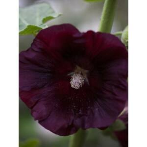 Mályvarózsa (Alcea rosea) - var, Nigra