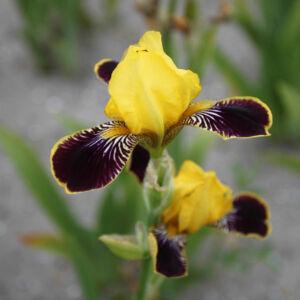 Középmagas írisz - Bumblebee Deelite
