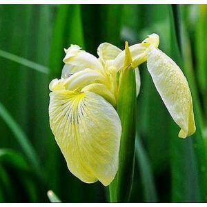 Botanikai nőszirom - Pseudocorus Primrose Beauty