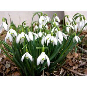 Hóvirág (Galanthus nivalis) (1 db)