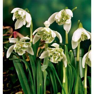 Hóvirág, dupla virágú (Galanthus) (1 db)
