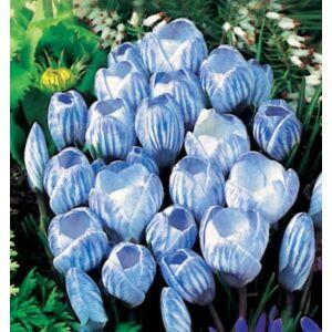 Nagyvirágú krókusz - SKY BLUE