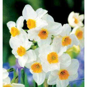 Csokrosvirágú Nárcisz - GERANIUM (1 db)
