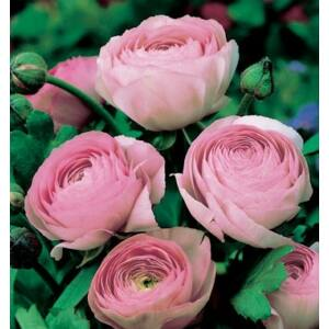 RANUNCULUS - Boglárka (rózsaszín)