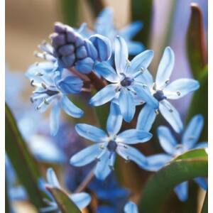 SCILLA BIFOLIA - CEBULICA DWULISTNA BLUE