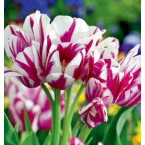 Sokvirágú Tulipán - FLAMING CLUB (1 db)