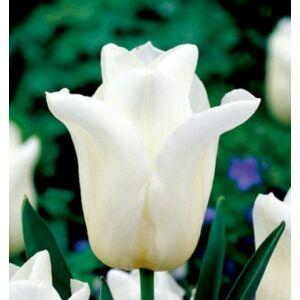 Triumph Tulipán - AGRASS WHITE (1 db)