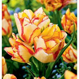 Tulipán - AQUILLA