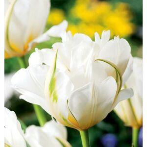 Tulipán - EXOTIC EMPEROR