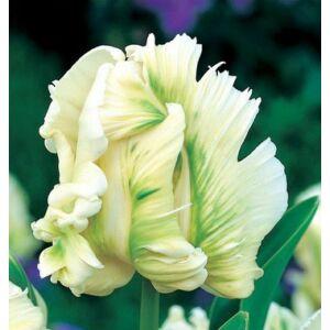 Papagájvirágú Tulipán - SUPER PARROT (1 db)