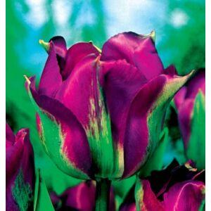 Virindiflora Tulipán - VIOLET BIRD (1 db)