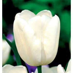 Triumph Tulipán - WHITE DREAM (1 db)