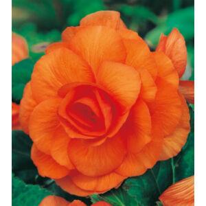 Begónia 'Duplavirágú, Orange'