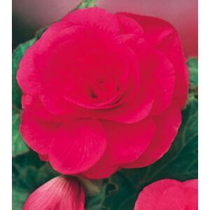 Begónia 'Duplavirágú, Pink'