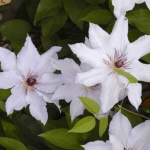Clematis - Snow Queen