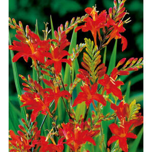 Crocosmia 'Red King'