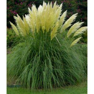 Pampafű - White Plum