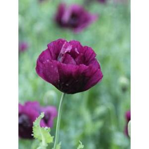 Pipacs (Papaver somniferum) - 'Lauren's Grape'  virágmag