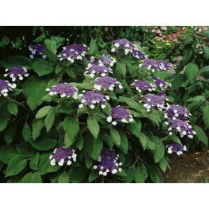 Érdeslevelű hortenzia (Hydrangea aspera MACROPHYLLA) (K5)